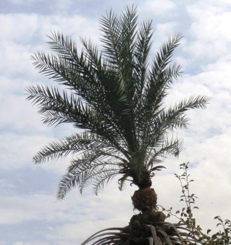 Palmier étant reparti après avoir été utilisé pour prélever du legmi. Le palmier conserve les stigmates du prélèvement.