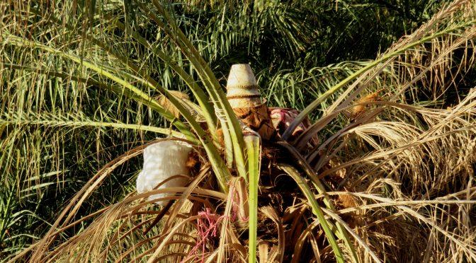 Le legmi : une menace pour la biodiversité phoenicole, stigmate de la crise de l'agriculture dans la corbeille